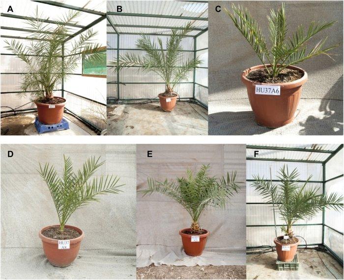 В Израиле вырастили финиковые пальмы из семян, пролежавших две тысячи лет