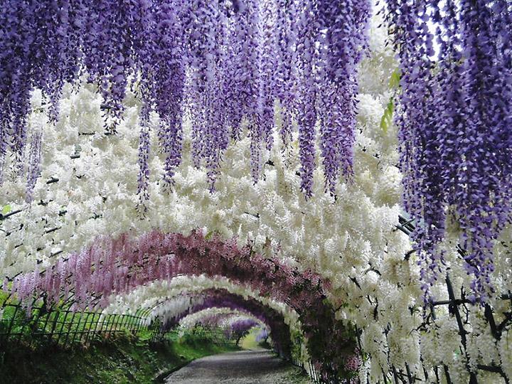 Кавати Фудзи – цветочные водопады